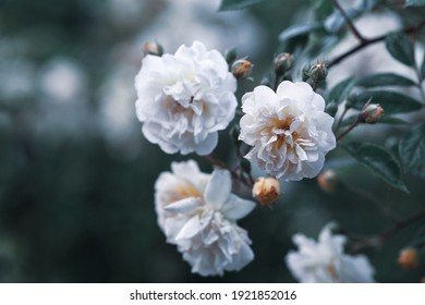 This is the picture of very beautiful white flowers
