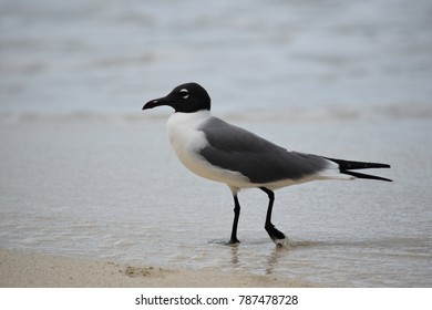 This is a picture of a Virgin Islands Seagull. It was taken on a beach in St John, USVI.