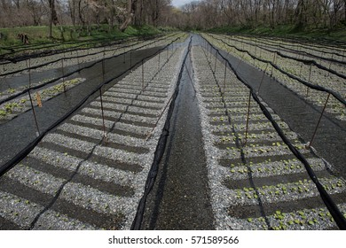 In this picture we can see cultivation of organic and fresh green crops in Japan. Farming is a major occupation in villages and Japan produces some of the finest green crops.