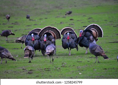 This is a picture of wild turkeys on our ranch in the western part of Northern California.
