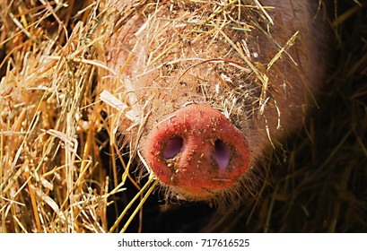 this pig had bury itself completely in the hay because of the great heat and only the snout looked out, close up