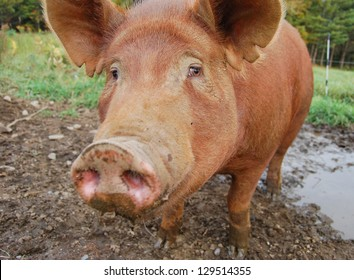 """This pig has a sorrowful expression on his face, as if to say """"I ate way too much!"""". The focus is on the expressive eyes, and the snout is distorted as it reaches for the camera lens."""