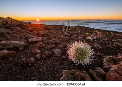 This plant is called the Haleakala silversword and grows out of the volcanic cinder of the Haleakala volcano in Maui.  Argyroxiphium sandwicense subsp. macrocephalum.