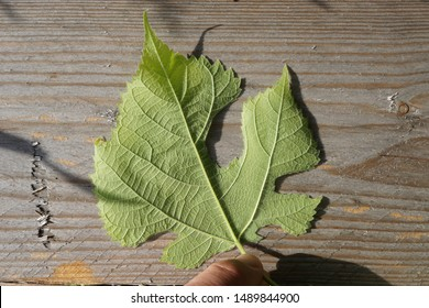 This plant leaf is mutated. The margin is heavily indented and irregular. It looks eroded, eaten by Caterpillar. However, it is a change in nature. Hand holding a green mutated leaf on a wooden board.