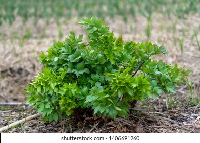 This plant of lovage just started to grow, it is a perennial plant that resist to cold season of New Hampshire, it has bright green leaves.