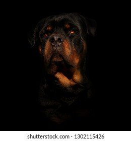 This is a portrait  of a Dog. His Name Is Boyka. He Is and Rottweiler