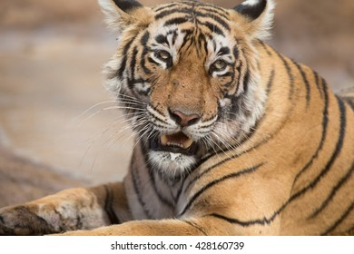This is a portrait of the Indian tiger took in natural habitat. It is an excellent illustration in the soft light which show wild life.