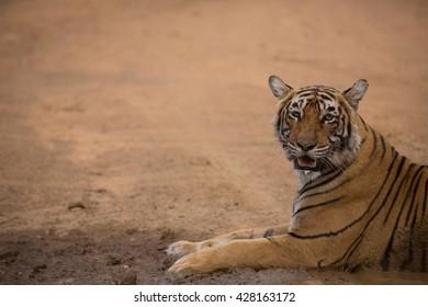 Indian Tiger Images, Stock Photos & Vectors | Shutterstock