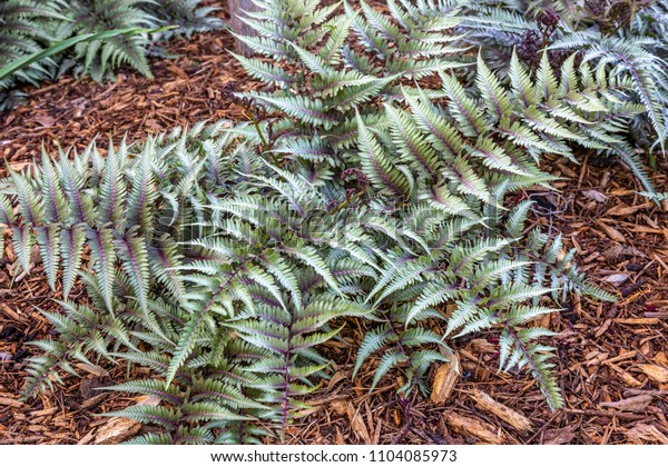 this pretty silver leaf fern is best planted under a tree