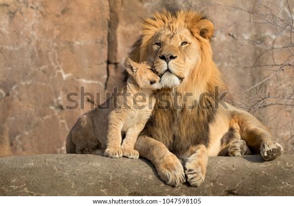 Этот гордый мужской афтиканский лев обнимается его детенышей во время ласкового момента.