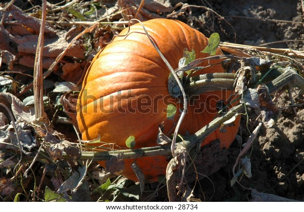 This pumpkin was still on the vine when I took it's photo!  I love the beautiful orange pumpkin glowing in the sunlight, just waiting to be picked!!