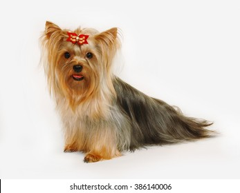 This purebred Yorkshire Terrier has beautiful long hair that was groomed by professional breeder. It has bright red hair on its muzzle