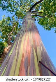 This is a rainbow eucalyptus, a tree characterized by its multi-colored bark.