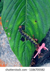 This is a rare shot of a white-lined sphinx moth caterpillar.