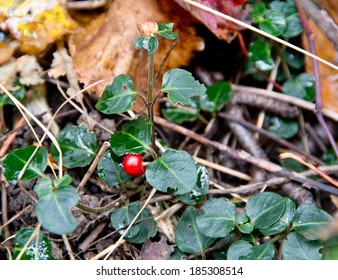 This red berry of the partridge berry plant (Mitchella repens) is a tasty wild edible fruit.