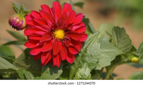 THIS Is a red dalia flower