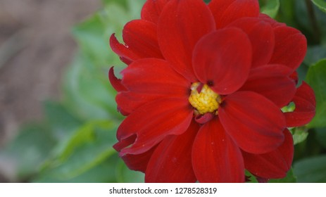 this is red dalia flower