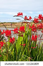 This red flower is a perennial bulb called Crocosmia Lucifer Montbretia plant with dunes and ocean in the far distance.  Vertical format with no people.