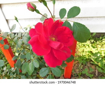 This is a red rose blooming in a flower garden