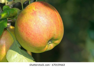 This is a ripe apple on a tree