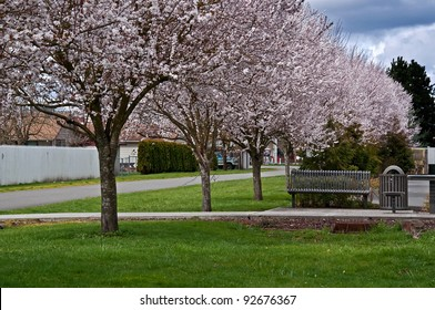 This is a row of spring blooming cherry blossom trees in a small town along an alley with a park bench.