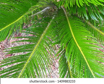This Sago Palm is infested with Asian Cycad Scale insects that appear as white spots. The scale is difficult to control, and can kill the plant if untreated.