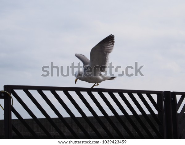 This is a seabird about to take off.