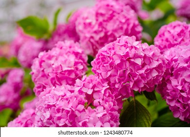 This secret garden is utterly dreamy. Showy flowers in summer. Hydrangea blossom on sunny day. Flowering hortensia plant. Blossoming flowers in summer garden. Pink hydrangea in full bloom.