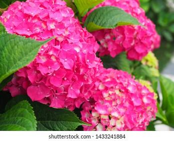 This secret garden is utterly dreamy. Showy flowers in summer. Hydrangea blossom on sunny day. Flowering hortensia plant. Blossoming flowers in summer garden. Pink hydrangea in full bloom