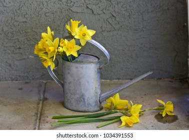 This is a shot of a tin watering can with several stems of daffodils in the can and a few stems on the ground outside of the can.