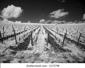 This is a shot of a vineyard in Oregon in infrared using a digital camera in black and white