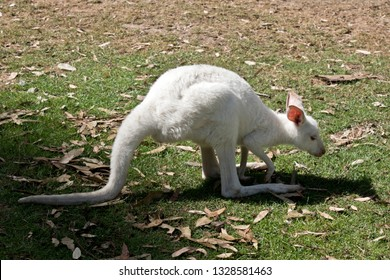 this is a side view of an albino joey kangaroo