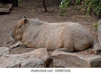 this is a side view of a capybara