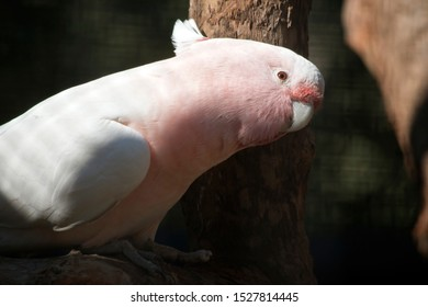 this is a side view on a pink cockatoo