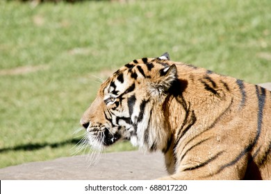this is a side view of a tiger