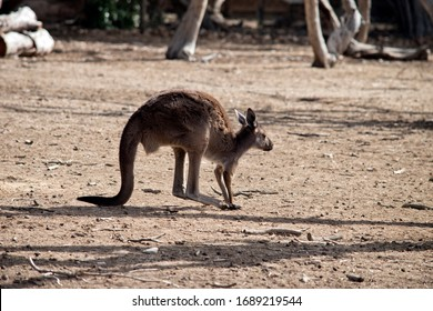 this is a side view of a western grey kangaroo