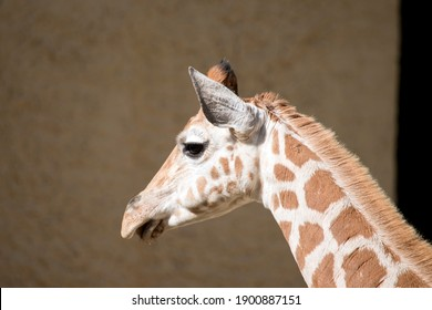 this is a side view of a young giraffe
