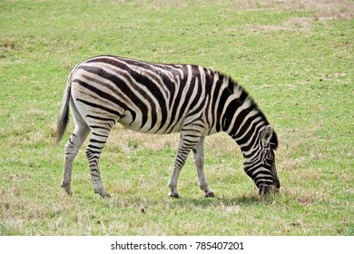 this is  a side view of a zebra