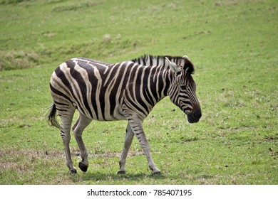 this is a side view of a zebra walking