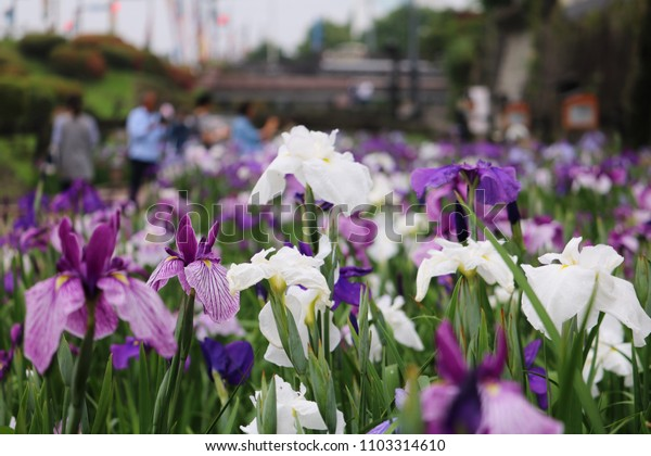 this sight is japanese iris garden.