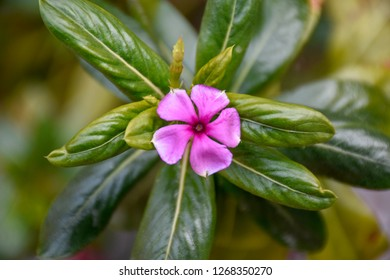 This small purple Periwinkle flower is surprisingly meaningful  The Periwinkle has been a part of European history for thousands of years, so it's only natural that the name comes from Latin through