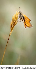 This is the Small Skipper Butterfly Thymelicus sylvestris resting on a grass inflorescence at Ainsdale LNR. The name Small Skipper is a bit of a misnomer i.e. there are at least four similar species.