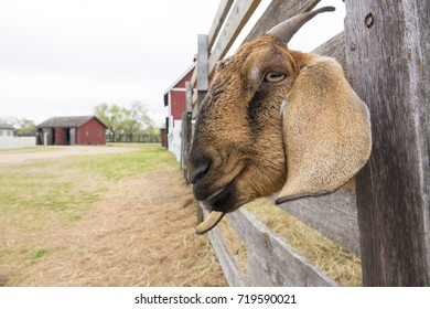 This smiling goat stuck his head through the fence in this rural scene as if to getter a better portrait taken. I believe he did.