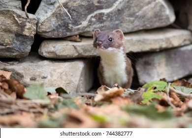 This is a stoat, poking its head out of a dry stone wall.