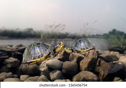This stock image contains a couple of turtles. two tortoise running over rocks slowly. wildlife photography of turtles.