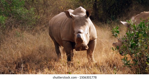 this is a Sumatran rhino