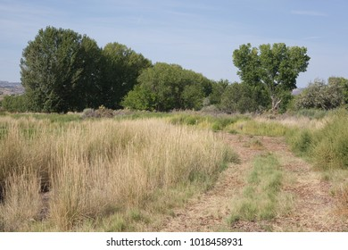 This summer scene shows wheel tracks in a grassy field past a stand of cottonwoods