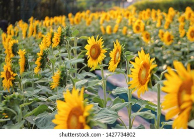 this is sunflowers in the canival
