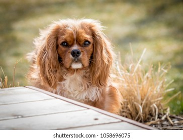 This is a sunset portrait of a very cute King Charles Cavalier. They make very good family dogs. Full of love!