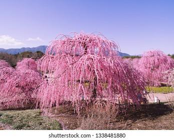 This is Suzuka forest garden plum flower .